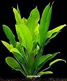 WFW wasserflora 5 Bunde Große Amazonas-Schwertpflanze/Echinodorus bleheri, Aquariumpflanze, barschfest