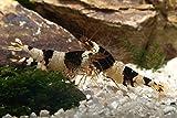 Black Bee (Grade A-S) Bienen Garnelen, 10 Stück