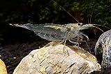 Amano Garnele - Caridina multidentata (Japonica), 10 Stück