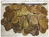 100 Stück Seemandelbaumblätter 6-9cm + viele Gratis (=50gr) Nano Größe jetzt NEU für die Kleinen ★Kostenloser BLITZVERSAND im Karton, sorgfältig selektiert★