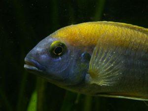 Weißpünktchen -Fischkrankheiten