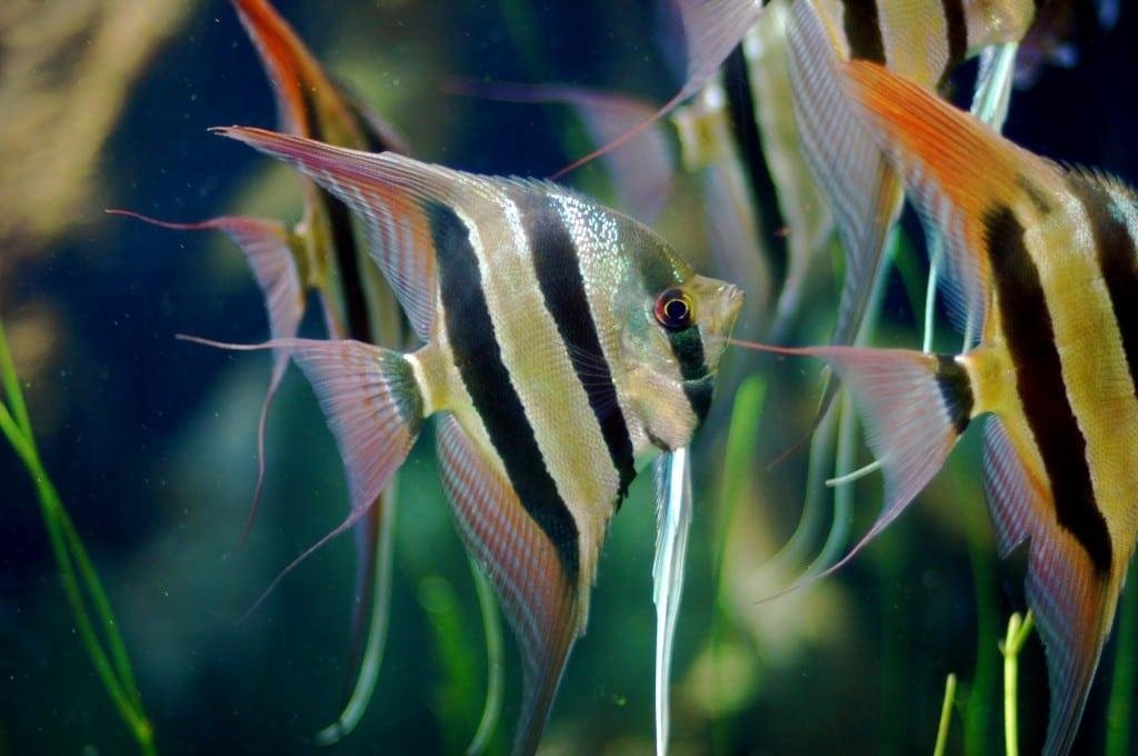 Skalar segelflosser pterophyllum scalare aqua for Skalar futter