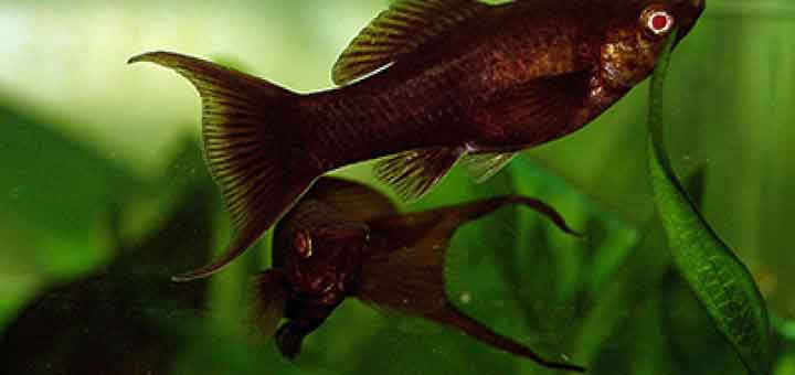 Black Molly - Poecilia sphenops var. Black
