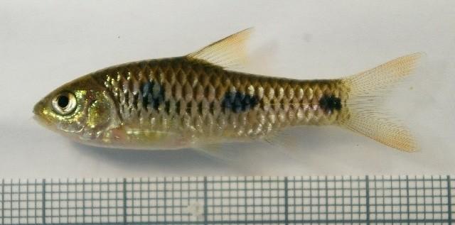 Dreipunktbarbe - Barbus trispilos