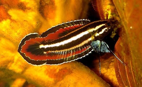Prachtgurami - Parosphromenus phoenicurus