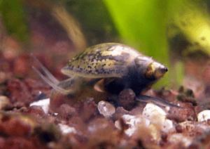 Blassnschnecken (Physidae) Bildquelle: Wikipedia