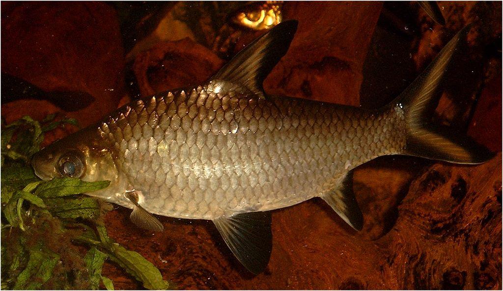 Haibarbe - Balantiocheilos melanopterus