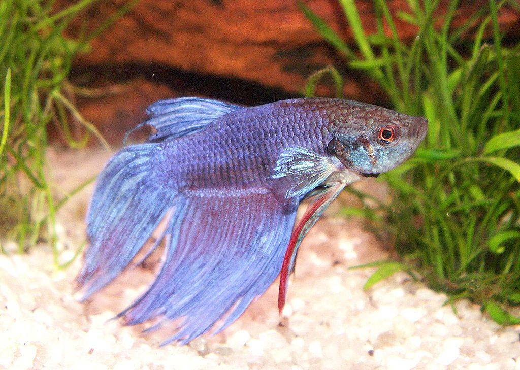 Siamesischer Kampffisch - betta splendens