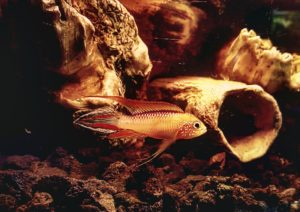 Apistogramma agassizii red fire