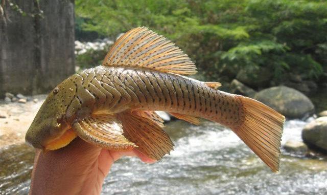 Gebirgsharnischwels - Chaetostoma tachiraense