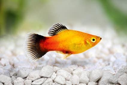 Korallenplaty - Xiphophorus-maculatus var. Koralle