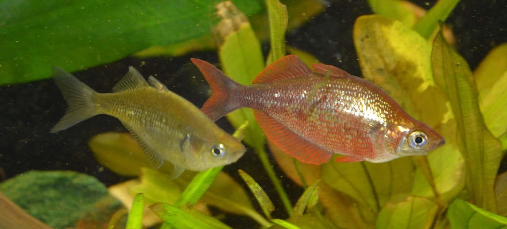 Lachsroter Regenbogenfisch Pärchen