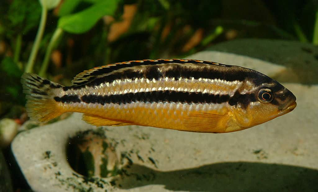 Türkisgoldbarsch Melanochromis auratus