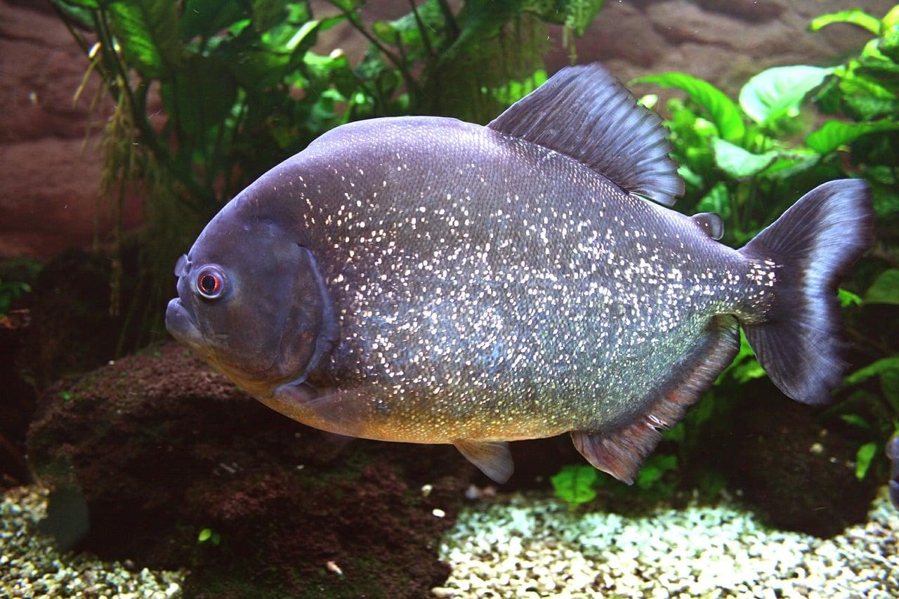 Roter Piranha - Pygocentrus nattereri