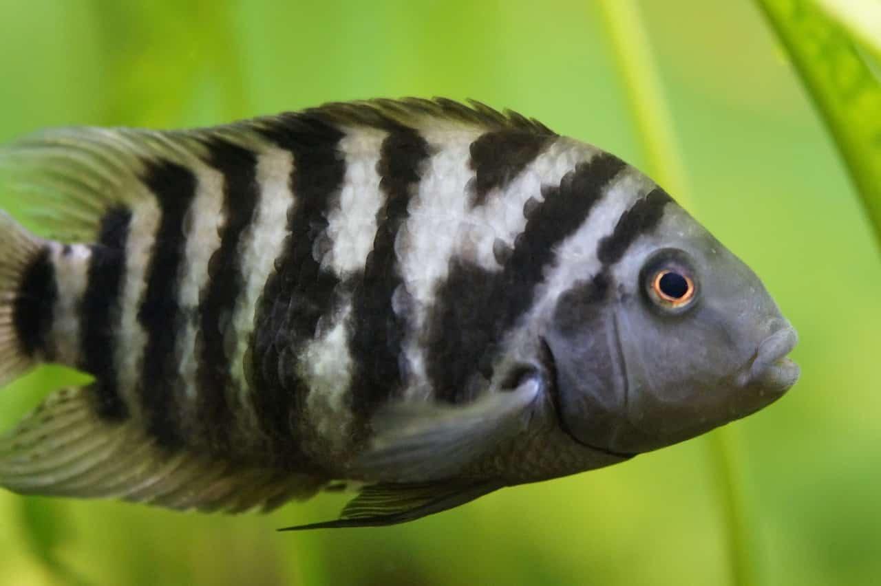 Zebra-Buntbarsch - Cichlasoma nigrofasciatum